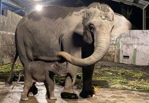 Anakan gajah terlahir dari indukan gajah koleksi GL Zoo.