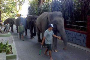 Gajah GL Zoo diajak jalan-jalan keliling obwis setempat.