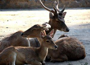 Rusa Timor koleksi GL Zoo.