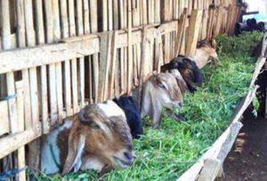 Ternak kambing sistem kandang.