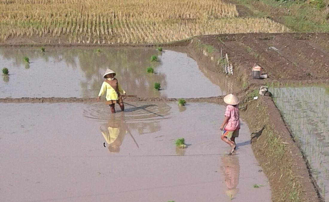 Sejumlah petani sedang menanami swahnya