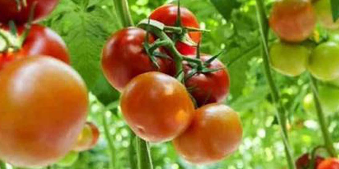 Agustus 2021, Inflasi Kota Yogya 0,05 Persen,andil terbesar yang mendorong terjadi inflasi di Kota Yogyakarta tersebut sebesar 0,00 persen adalah tomat